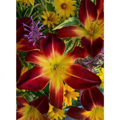 Rainbow Rhythm Ruby Spider Daylily (Hemerocallis) Live Plant, Red Flowers with a Yellow Throat, 3 Gal.