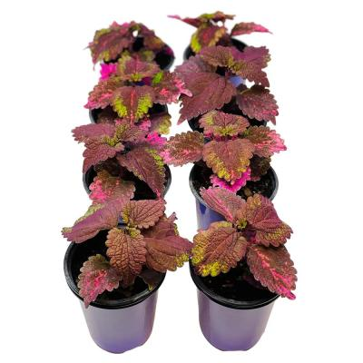 1.38 Pt. Coleus Plant Florida Sun Rose in 4.5 In. Grower's Pot (8-Plants)