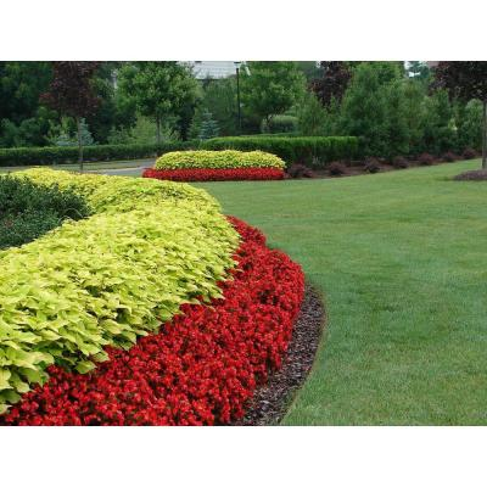 1.38 Pt. Coleus Plant Golden Lace Vegetative in 4.5 In. Coleus Golden Lace Vegetative in Grower's Pot (4-Plants)