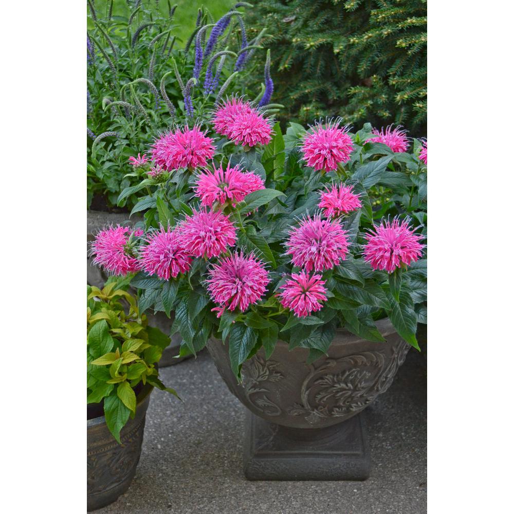Pardon My Pink Bee Balm (Monarda) Live Plant, Pink Flowers, 0.65 Gal.