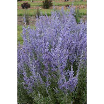 Deer resistant proven winners free shipping perennials denim n lace russian sage perovskia live plant blue purple flowers mightylinksfo
