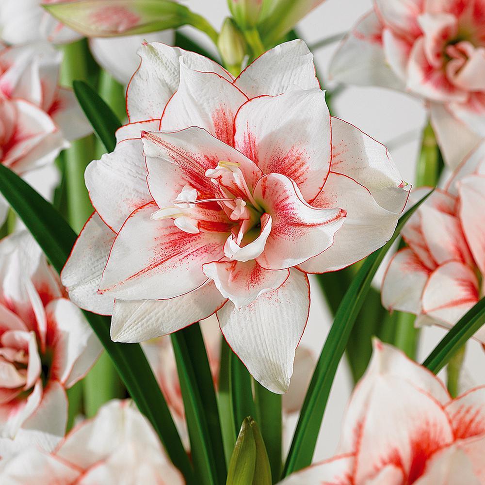 winter amaryllis flower bulbs garden plants u0026 flowers the