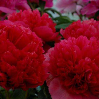 Red Peonies Command Performance Root