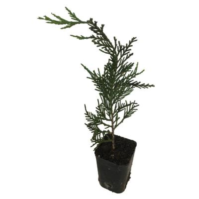 6 in. to 14 in. Tall Leyland Cypress 4 Separate Plants in 4 Separate 2.5 in. Containers