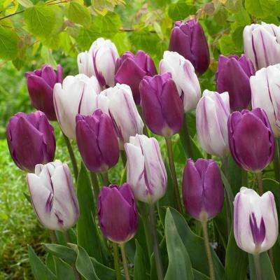 Tulip Purple Delight Bulbs (50-Count/Pack)
