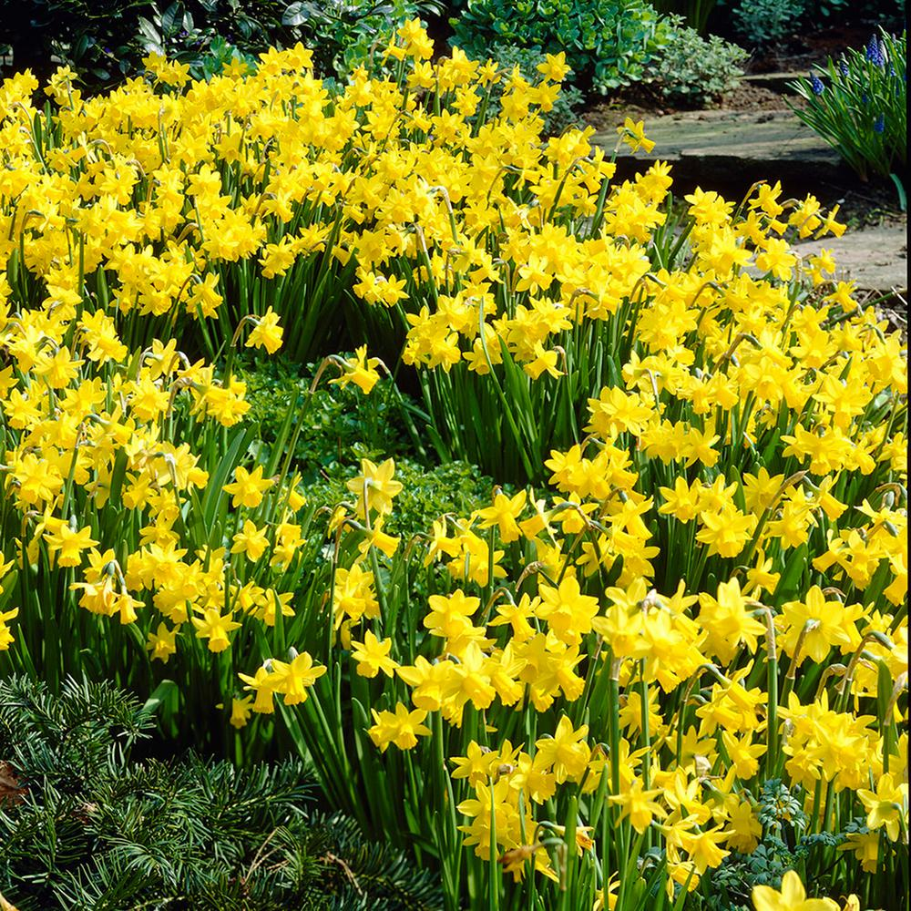 Yellow Perennial Flower Bulbs Garden Plants Flowers The