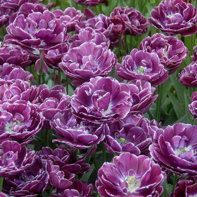 Purple tulip flower bulbs garden plants flowers the home depot tulips bulbs dream touch set of 12 mightylinksfo Choice Image