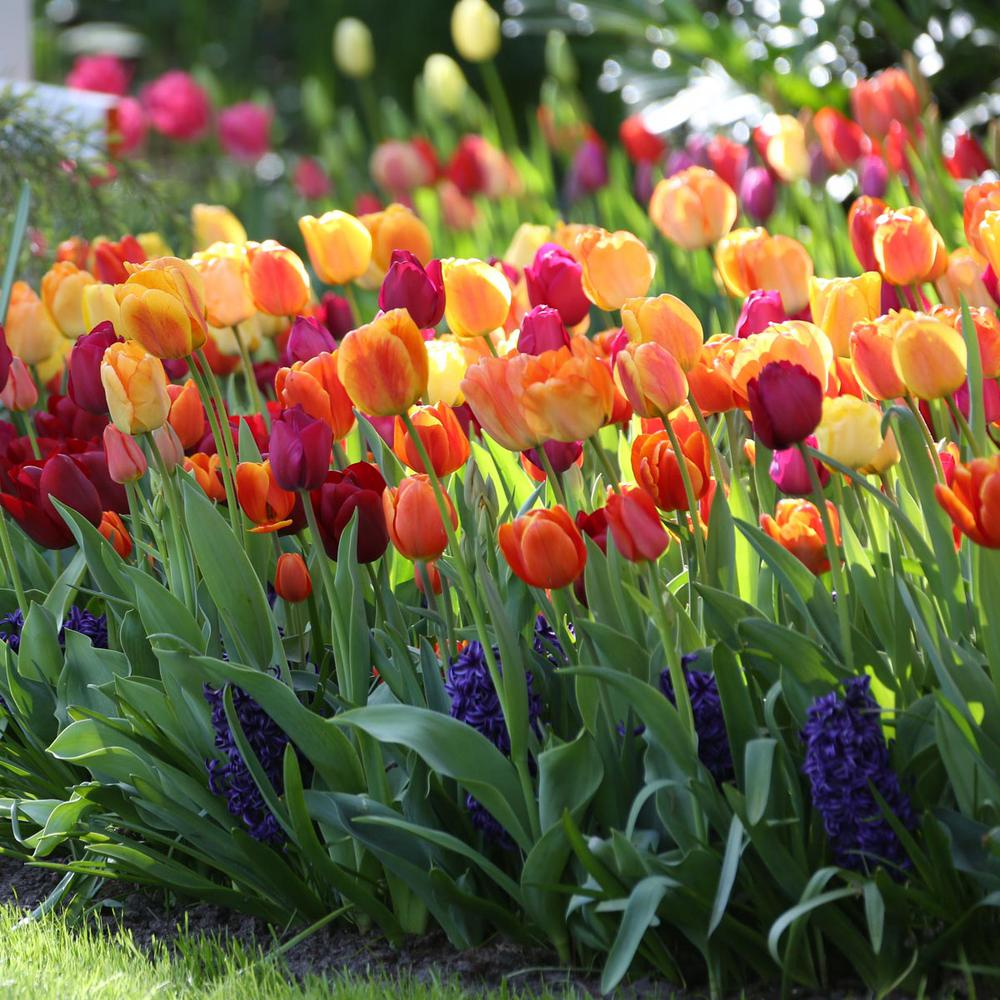 longfield gardens tulip brilliant mix bulbs (25-pack)-11000144 - the