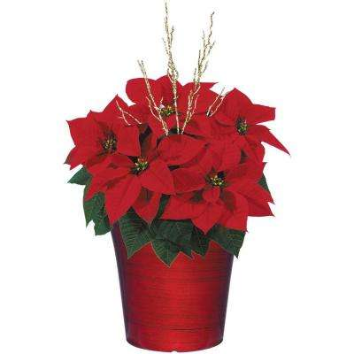 8 in. Bella Upgraded Poinsettia (In-Store Only)