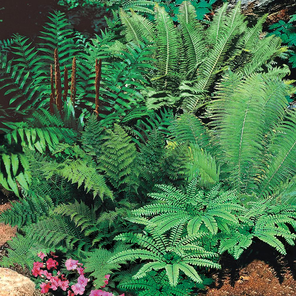 Spring Hill Nurseries Native Woodland Fern Mixture, Live Bareroot Perennial on plants in walmart, almanac home depot, plants in amazon, plants in ikea, indigo plant home depot, water home depot, plants at home depot, plants in borders, plants in home office, plants in starbucks, plants in kroger, bedding plants home depot, plant lights home depot, plants in safeway, plants in home garden, bonnie plants home depot,