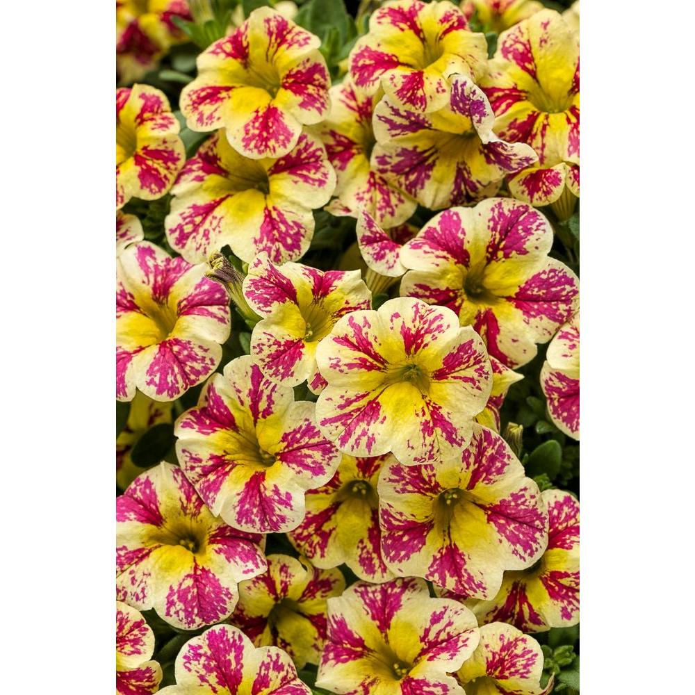 Calibrachoa Live Plant Mottled Yellow And Pink Flowers 4 25 In Grande Pack
