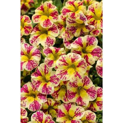 Superbells Holy Moly! (Calibrachoa) Live Plant, Mottled Yellow and Pink Flowers, 4.25 in. Grande, 4-pack