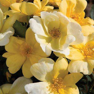 Knock Out Sunny Yellow Shrub Rose Live Bareroot Plant with Yellow Color Flowers (1-Pack)