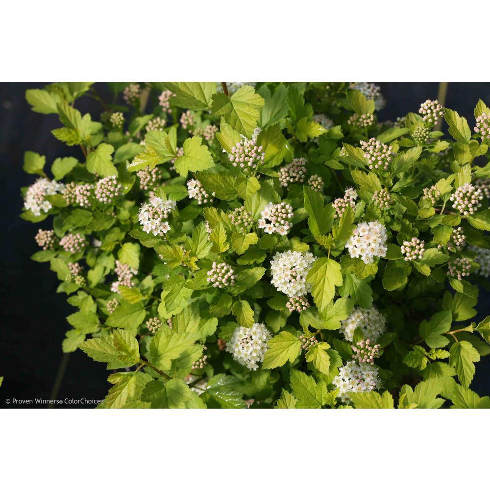 1 Gal. Tiny Wine Gold Ninebark (Physocarpus) Live Shrub, Pink and White Flowers with Green and Yellow Foliage