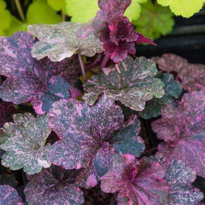 Deep Purple Colored Foliage Midnight Rose Coral Bells (Heuchera) Live Bareroot Perennial Plant (1-Pack)