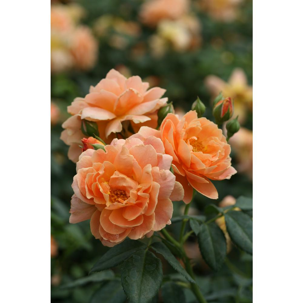 4.5 in. Qt. At Last Rose (Rosa) Live Shrub, Orange Flowers
