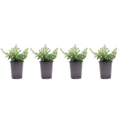 1.38 Pt. Cuphea Mexican Heather Plant in 4.5 in. Grower's Pot (4-Plants)