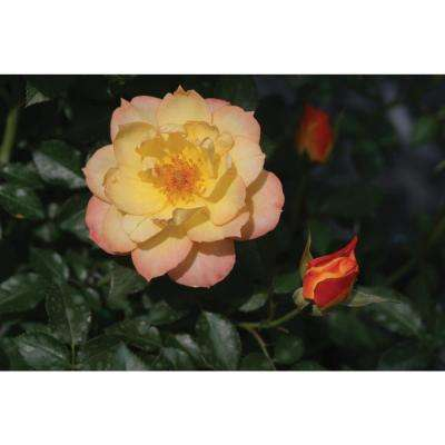 3 Gal. Oso Easy Italian Ice Landscape Rose (Rosa) Live Shrub, Orange, Pink, and Yellow Flowers