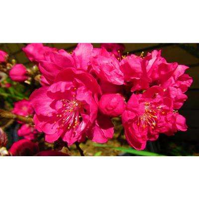 Double Red Flowering Peach Tree (Bare Root, 3 ft. to 4 ft. Tall)