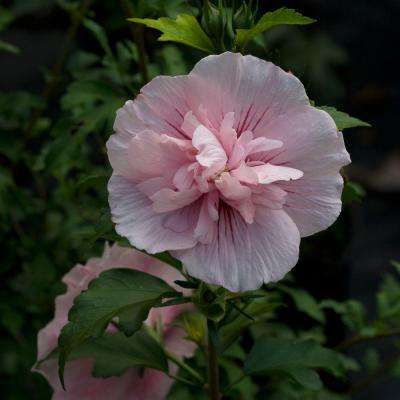 4.5 in. qt. Pink Chiffon Rose of Sharon (Hibiscus) Live Shrub, Light Pink Flowers