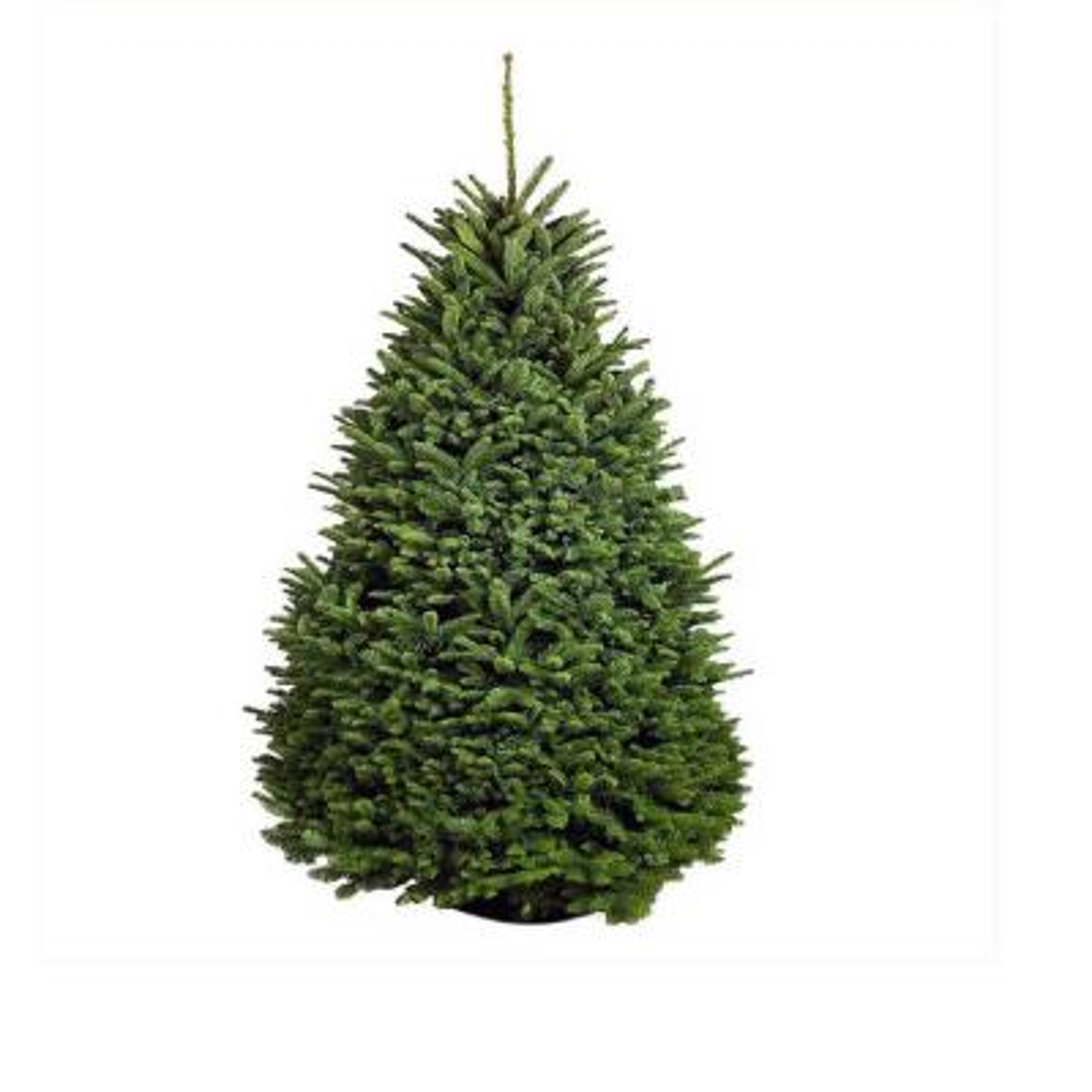 7.5 ft. Freshly Cut Noble Fir Live Christmas Tree (Real, Natural, Oregon-Grown)