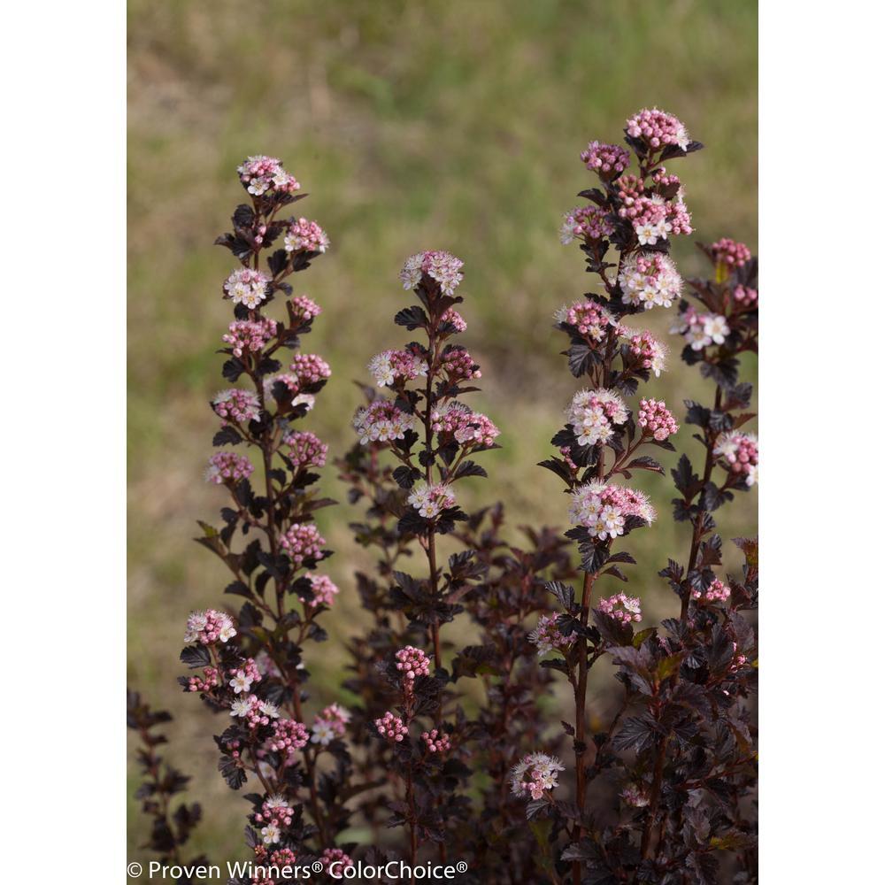 3 Gal. Tiny Wine Ninebark (Physocarpus) Live Shrub, White Flowers and Purple Foliage