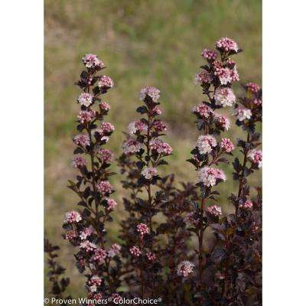 1 Gal. Tiny Wine Ninebark (Physocarpus) Live Shrub, White Flowers and Purple Foliage