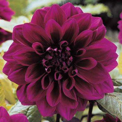 Purple Flowers Thomas Edison Decorative Dahlia Bulbs (5-Pack)