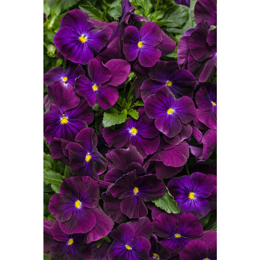 Pansy Annuals Garden Plants Flowers The Home Depot