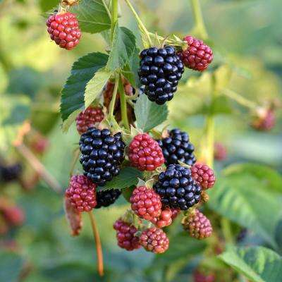 Triple Crown Thornless Blackberry Bush (1-Plant)