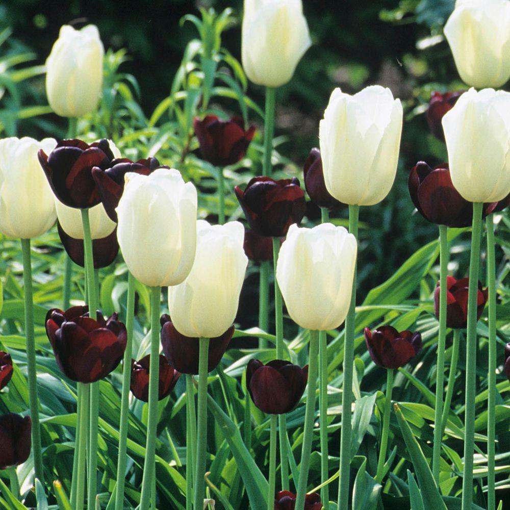 Martha Stewart Living Tulip Queen Of Night & Tulip Maureen Dormant Bulbs (48-Pack)