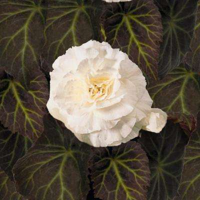 4-Pack, 4.25 in. Grande Nonstop Mocca White (Tuberous Begonia) Live Plant, White Flowers