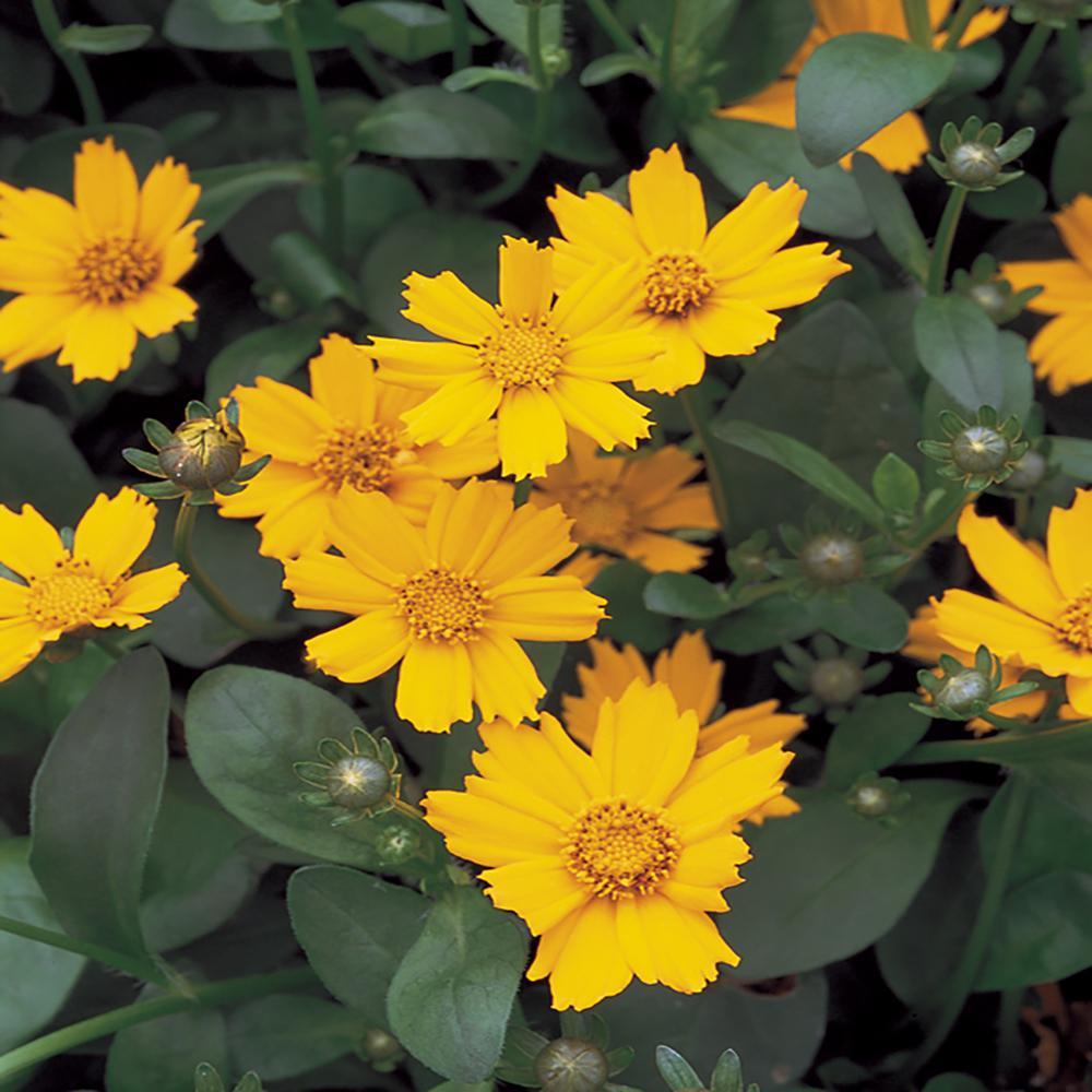 #5 1 Qt. Nana Yellow Tickseed Plant