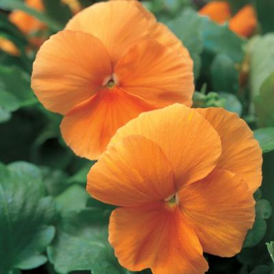 4.5 in. Orange Pansy Plant
