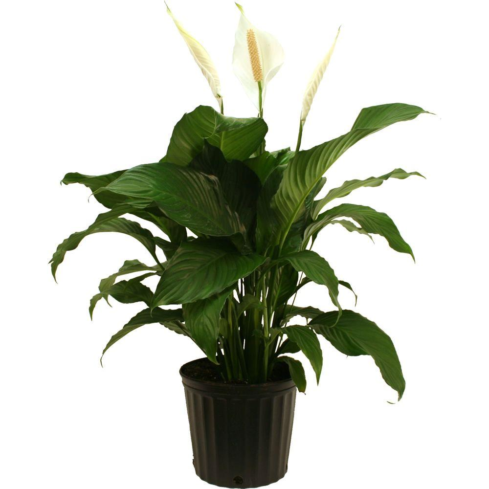 Costa Farms Spathiphyllum Sweet Pablo In 925 In Grower Pot