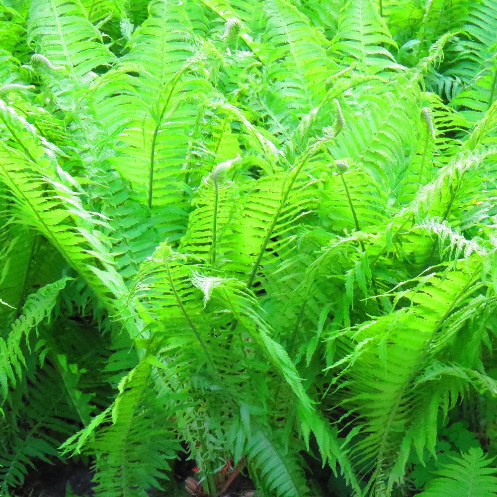 Green Foliage Woodland Plant Lady Fern (3-Pack)
