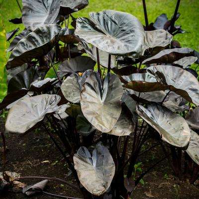 Elephant Ears  Kona Coffee  Bulb (1-Set)