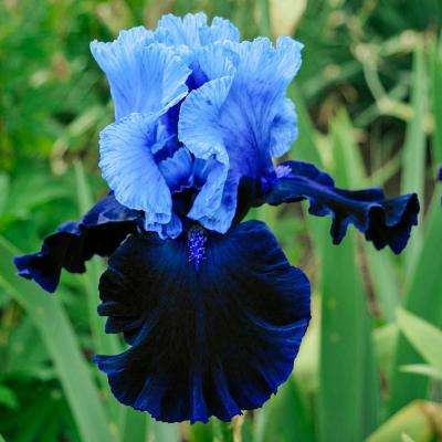 Fatal Attraction Bearded Iris 2-Toned Blue Flowers Live Bareroot Plant