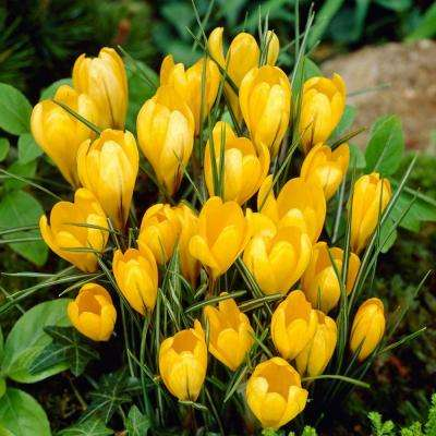 Crocus Bulbs Yellow Mammoth Flower Bulb (20-Pack)