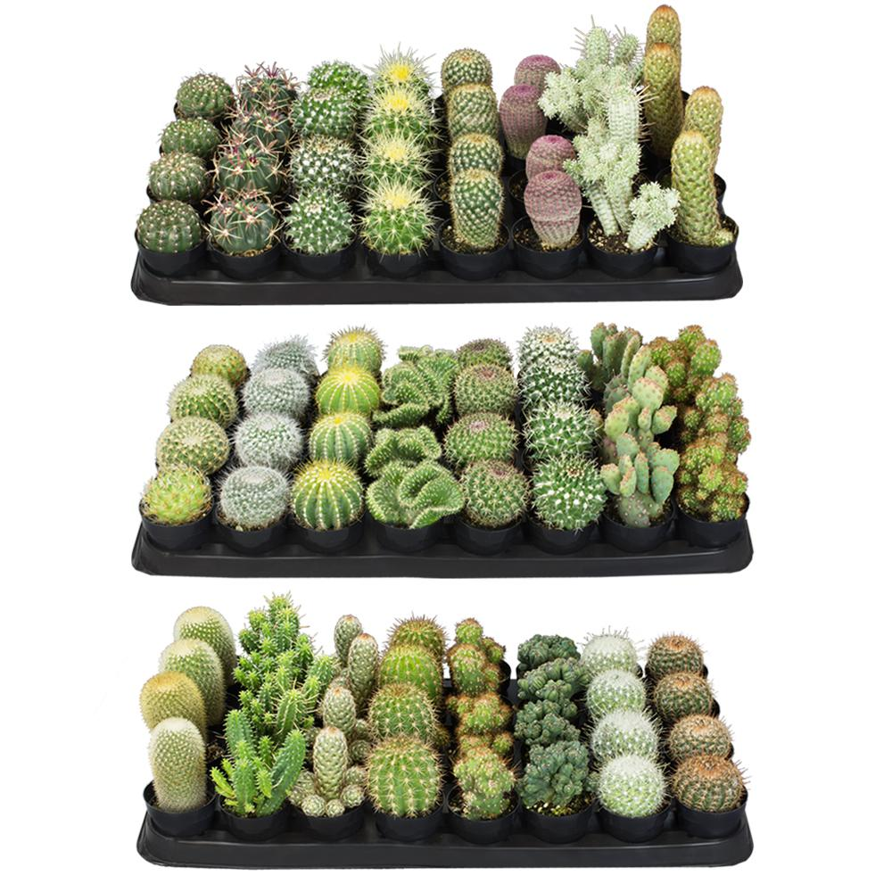 Altman Plants 2.5 in. Cactus Plant Collection (96-Pack)