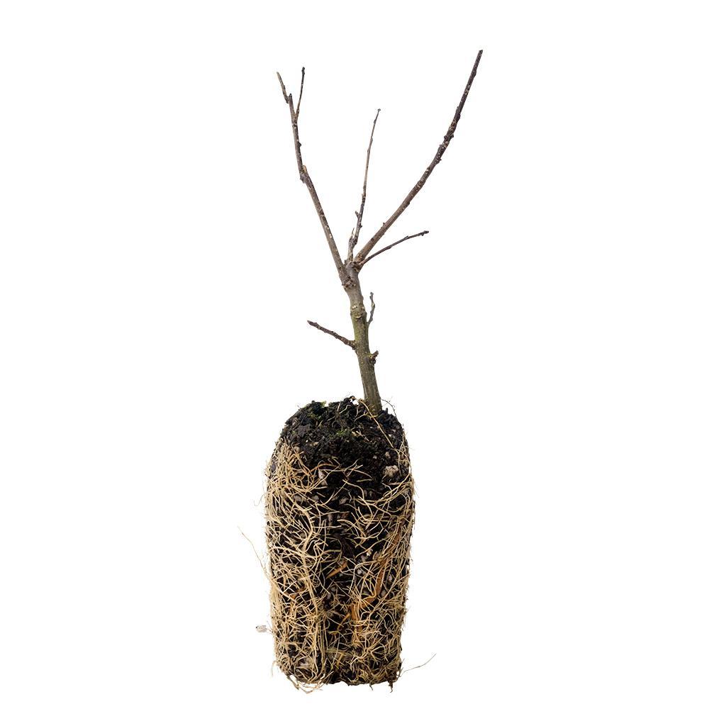 Southern Gentleman Winterberry Bareroot Plant
