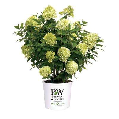 2 Gal. Limelight Hydrangea Shrub with Green to Pink Flowers