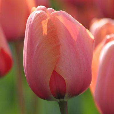 Tulip Apricot Impression Bulbs (25-Pack)