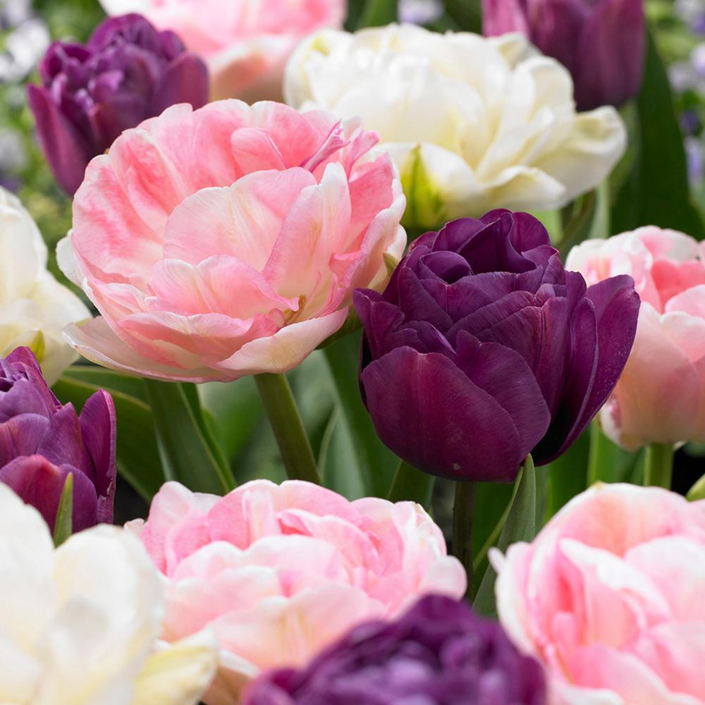 Tulips Bulbs Double Peony Blend (Set of 15)