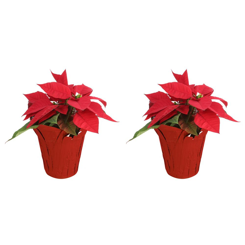 COSTAFARMS Costa Farms 1 pt. Fresh Red Poinsettia with Red Pot Cover (Live 2-Pack)