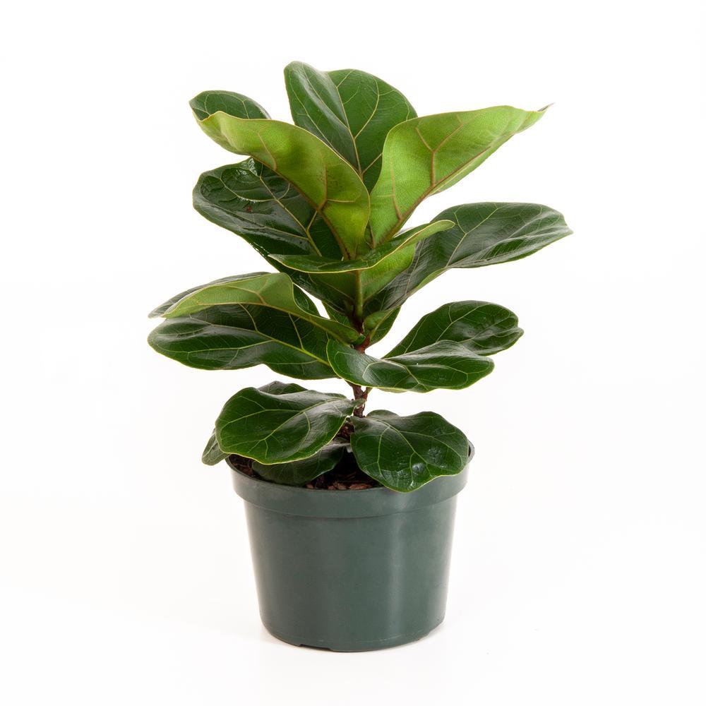 Ficus Lyrata Fiddle Leaf Fig in 6 in. Grower Pot