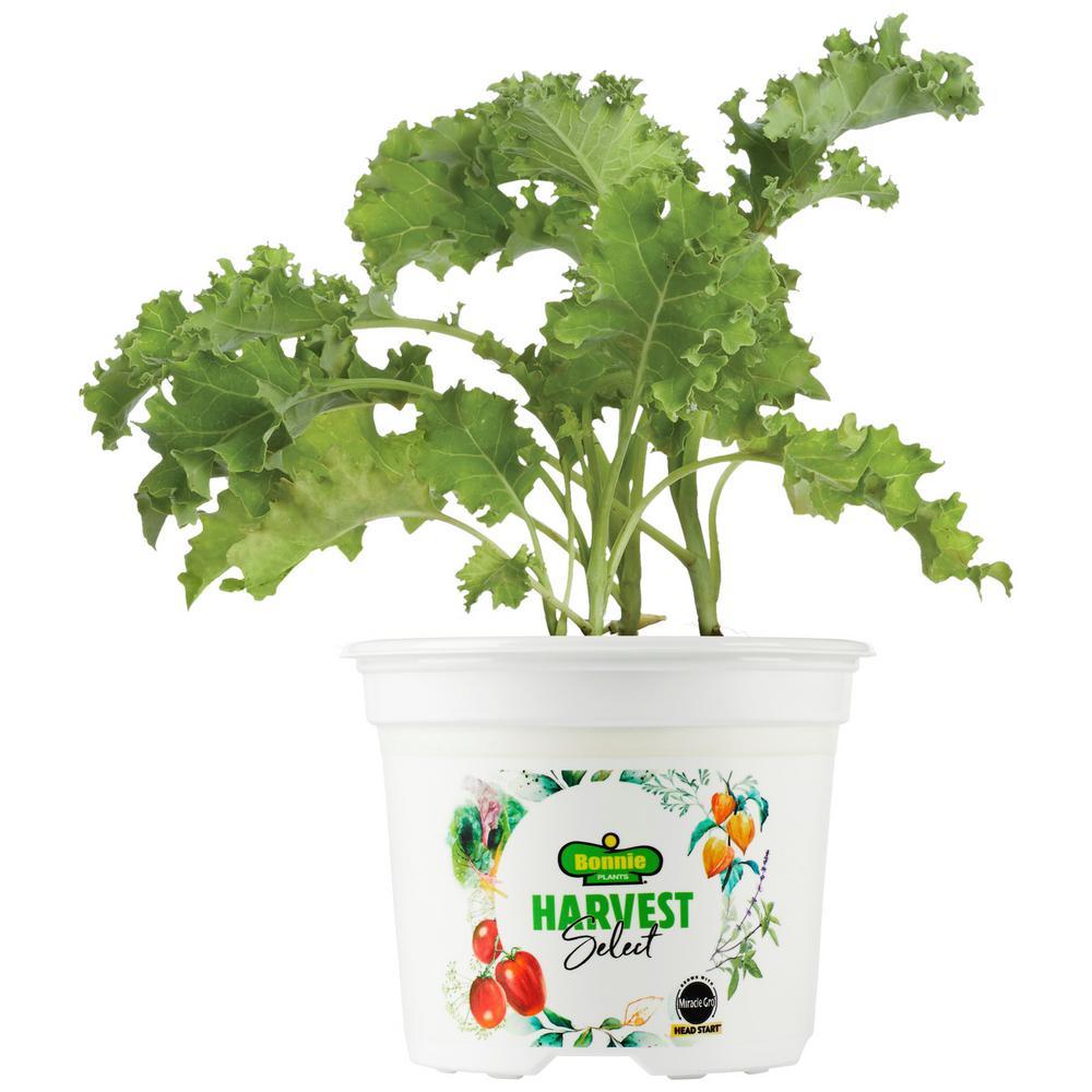 Bonnie Plants 25 Oz Harvest Select Prizm Kale 2 Pack Live Plants 2phd003 The Home Depot
