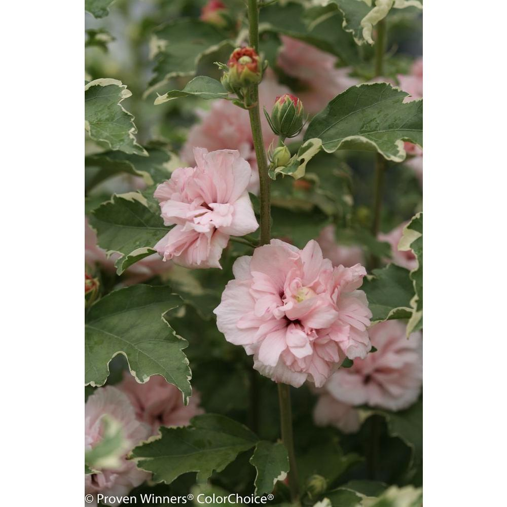Proven winners 45 in qt sugar tip rose of sharon hibiscus live shrub light pink flowers and variegated foliage sugar tip rose of sharon hibiscus live izmirmasajfo