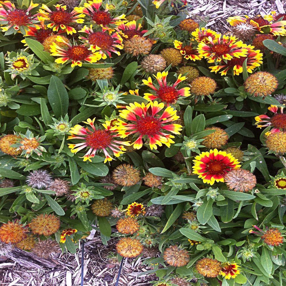 OnlinePlantCenter 1 Gal. Arizona Sun Blanket Flower Plant