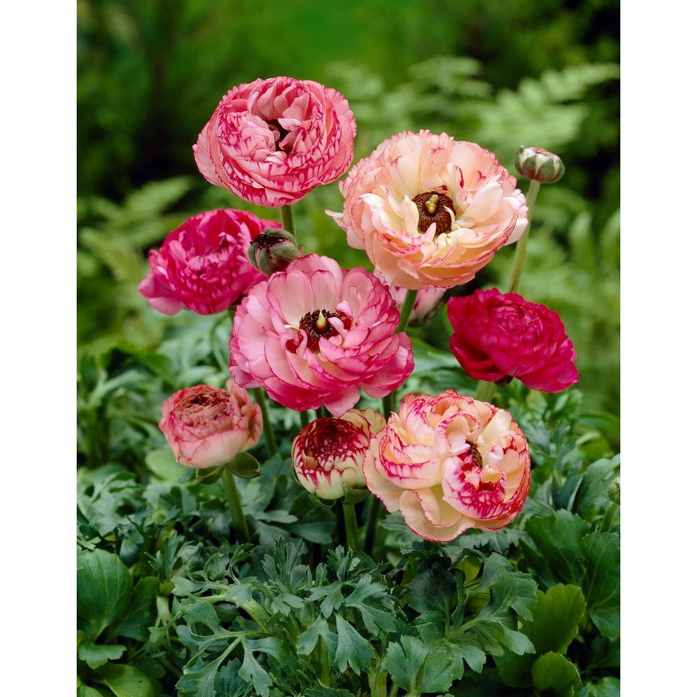 Bloomsz Ranunculus Picotee Bulbs Super Saver (25-Pack)